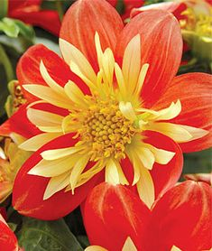 Dahlia, Showtime.Lively blooms burst with color like fireworks on the 4th of July.
