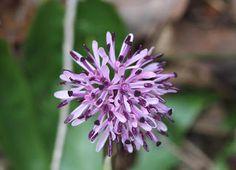 Syoujyou-bakama (japanese name) /  Heloniopsis orientalis (scientific name)