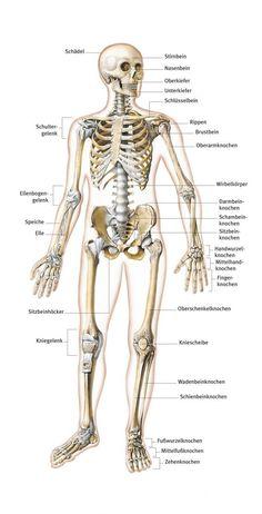 Skelett aus dem Lexikon - wissen.de   http://www.wissen.de/lexikon/skelett