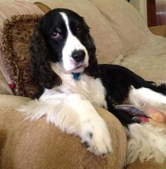 thinking springer spaniel face