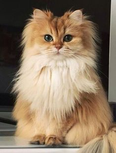 Adorable Persian Cat #cats #persiancats #CatNames