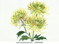 Watercolor painting of Chrysanthemum flower. Original style. by Veronika Surovtseva, via Shutterstock