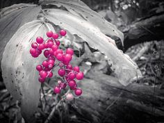 Nature Photography Print. Fine Art Nature Photography.  Wild Berries Photo. Nature Photo Print.  Wild Red Berries – Copyright 2012 Dawn Mercer, Canadian Artist