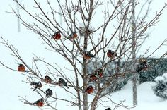Robins in winter-storm Maryland