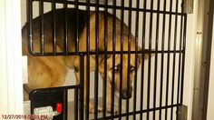 01/12/17-SUPER SUPER URGENT HOUSTON - Review date is now 1/17 at 5:30pm for adoptions/5:50 for rescue groups to tag. PLEASE WATCH VIDEO!!! GEORGE - ID#a474642 My name is GEORGE I am a neutered male, tan and black German Shepherd Dog. I am about 4 years old. I have been at the shelter since Jan 11, 2017. Harris County Public Health and Environmental Services. https://www.facebook.com/harriscountyanimalshelterpets/videos/1385336258196835/