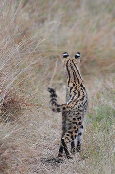 Serval Cat- Kenya by Elsen Karstad on 500px