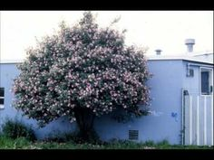 Five Easy Plants to Prune, Part 4: Camellia pruning. Cass Turnbull, Plant Amnesty