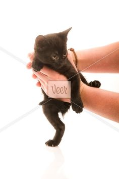 Adorable young cat in woman's hand Stock Photo