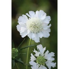 I have just purchased Scabiosa caucasia perfecta 'Alba' from Sarah Raven - https://www.sarahraven.com/flowers/plants/perennials-plants/scabiosa_caucasia_perfecta_alba.htm