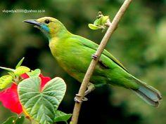Blue-winged Leafbird-Female (Chloropsis cochinchinensis) | Birds ...