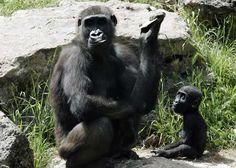 Resultado de imagem para gorilas e macacos