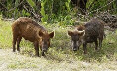 Hunting Feral hogs   Outdoor Channel