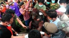 Burned orangutan dies as result of increasing palm oil demand.