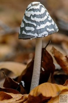 Coprinopsis picacea.2 -  magpie fungus | 46 #Magical Wild Mushrooms You Won't #Believe Are Real ...