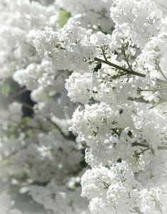 White lilac blossom