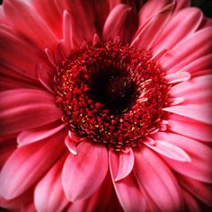 Pink Daisy - Pretty!