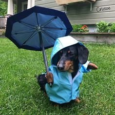 """Crusoe #dachshund on Twitter: """"A little sprinkle won't stop me!... Unless it's more than a sprinkle; then I'm going back inside. #ThursdayThoughts… """""""