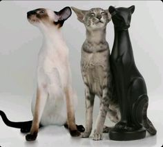 Siamese and Oriental Shorthair Pretty Cats, Beautiful Cats, Siamese Cats, Cats And Kittens, Big Cats, Dobby Cat, Oriental Shorthair Cats, Baby Animals, Cute Animals