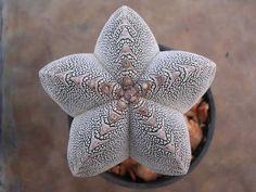 Astrophytum cultivares kabutos onzukas asterias cactusland