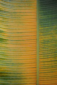 © Albertine -  bananier feuille  jaune vert