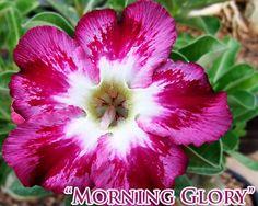 adenium morning glory.
