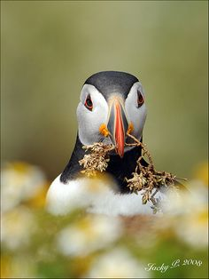 Puffin Nest Building by Jacky Parker.