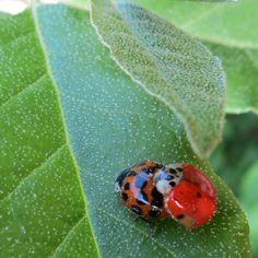 """Not all Lady Bugs are ladies ; ) click through for 2 more """"Did you know?"""" nature photos"""