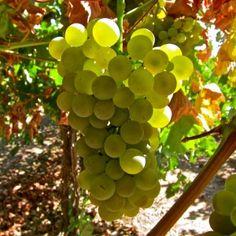 Vermentino in Lodi grower Kevin Delu's Bella Vigna Vineyard. Photography by Randy Caparoso. #Lodi #wine #Vermentino #grapes