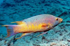Hogfish | SuperStock - Spanish hogfish (Bodianus rufus). Bonaire, Netherlands ...