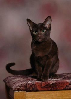 of Brown Cats (Havana Brown Cat) I Love Cats, Crazy Cats, Cool Cats, Brown Kitten, Brown Cat, Pretty Cats, Beautiful Cats, All Cat Breeds, Gatos Cool
