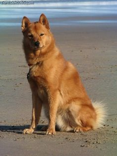 The Finnish Spitz is thought to be especially good on feathered game too. Spitz Dog Breeds, Spitz Dogs, Spitz Puppy, D Is For Dog, Irish Terrier, Adoption, Purebred Dogs, Wild Dogs, Family Dogs
