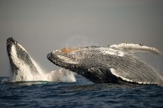 Humpback whales. Never-before-seen gatherings of hundreds of humpback whales | New Scientist