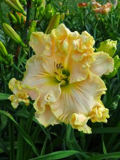 How pretty is this H. Boundless Beauty daylily?