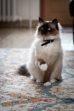 Not a huge cat person since I'm allergic but if I got one it would probably be this breed!! So pretty and I love the blue eyes!!