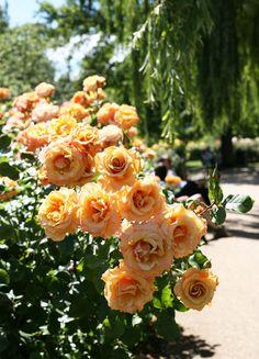 Roses at Regents park livelovedraw.com
