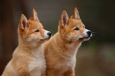 The Australian dingo is currently endangered and threatened with extinction. The threat is predominately due to hybridization, inbreeding, hunting, government 'wild dog' eradication programs and loss of genetic fitness. There are no current conservation strategies that will reduce the rate of possible extinction.