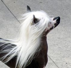 "Absolutely love Chinese crested dogs!!  I realize this poochie isn't exactly a ""fur"" baby...but he's still a baby."