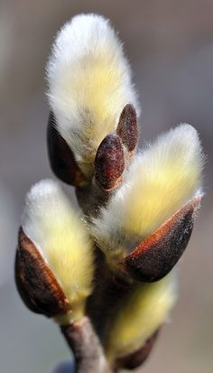 'Pussy willow' is a name given to many of the smaller species of the genus Salix (willows and sallows) when their furry catkins are young in early spring. // by SpitMcGee Do you remember getting pussy willow with palms on Palm Sunday? Seed Pods, Belle Photo, Bonsai, Planting Flowers, Flowers Garden, Beautiful Flowers, Unusual Flowers, Images, Pictures