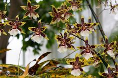 Maria's Orchids: New York Orchid Show 2013: Oncidiums