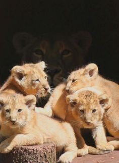 Indu, with her new four cubs at Paignton Zoo, South Devon