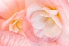 Soft Pink Flower Botanical Print, Fine Art Photograph, Peachy Pink Floral Wall Art, Home Decor, Macro Flower Photo, Pink Flower Art Print