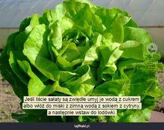 Zwiędłe liście sałaty - Jeśli liście sałaty są zwiędłe umyj je wodą z cukrem albo włóż do miski z zimną wodą z sokiem z cytryny, a następnie...