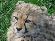Well worth a visit. Cheetah sanctuary  at the Spier Estate, Winelands, South Africa.