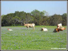 Texas Longhorns in a field of Texas Bluebonnets...