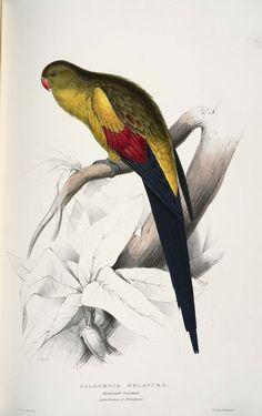 Vintage parrot illustration for some tropical wall art and tiki bar decor no… Bird Illustration, Botanical Illustration, Tiki Bar Decor, Vintage Birds, Print Artist, Art Print, Parakeet, Bird Prints, Bird Art