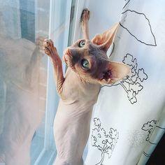 (#PalmerPaws)#sphynxtagram#sphynxcat#cat#sphynxlove#sphynx#sphynxlair#catworld#baldisbeautiful#socute#play#catofinstagram#montreal#sphynxofinstagram#instagood#adorable#arianagrande#cute#nakedcat#instacat#petagram#playtime#montreal#animals#hairlesscat#ilovemycat#baby #catsofinstagram#petsofinstagram#cats by cleopatra.sphynx