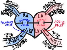 Blood flow through the heart. What a great diagram! Never saw this one before.