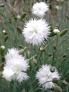 """Dianthus plumarius Itsaul White. Fragrant. Vanilla Scented. 12"""" late summer to spring bloom. Perennial, evergreen. Full sun, normal,sandy soil. Attracts butterflies, cut flowers, blooms 4 wks or more. For this dianthus, do not shear foliage."""
