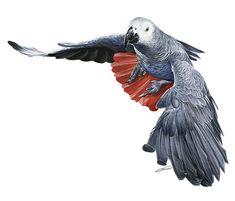 African Greay Digital Art - Flying African Grey Parrot by Owen Bell
