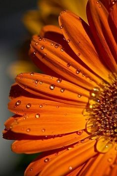 who doesn't feel better after receiving a bunch of orange gerbera's? Orange Flowers, My Flower, Orange Color, Beautiful Flowers, Beautiful Pictures, Gerbera Flower, Gerbera Daisies, Orange You Glad, Orange Is The New